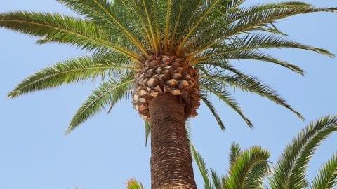 Palm trees Lanzarote